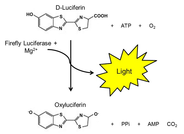 Luciferasi, luminescenza