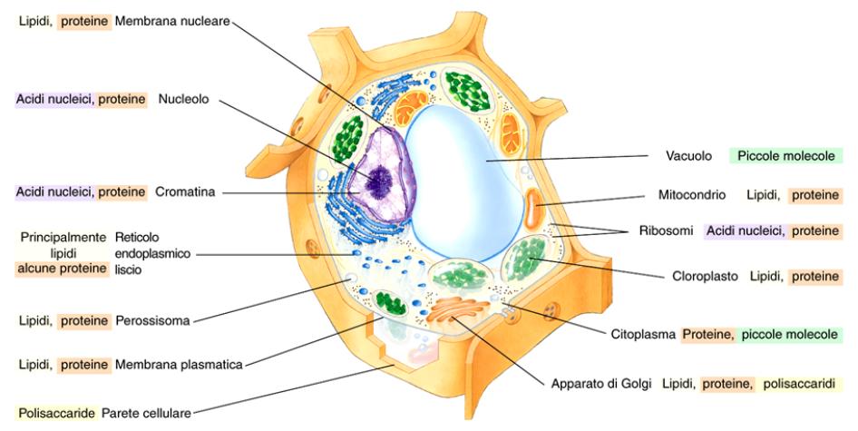 Distribuzione macromolecole cellula eucariote