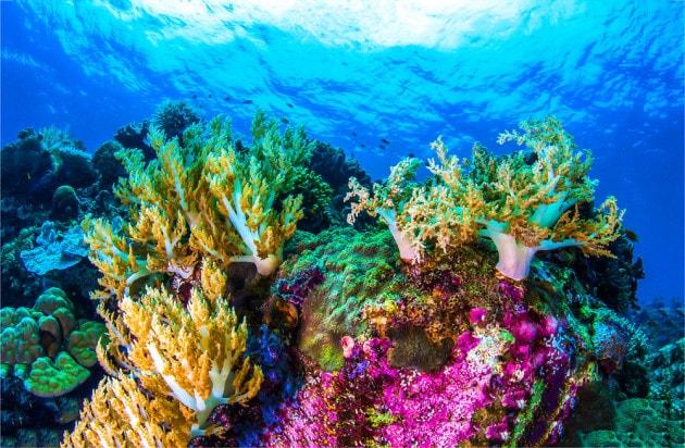 Grande Barriera Corallina, coralli in salute