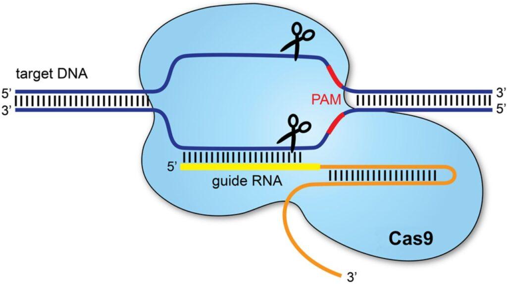 Credits: ADC Education e Practice edition CRISPR-CAS9, Tecnologia Nobel per la Chimica 2020