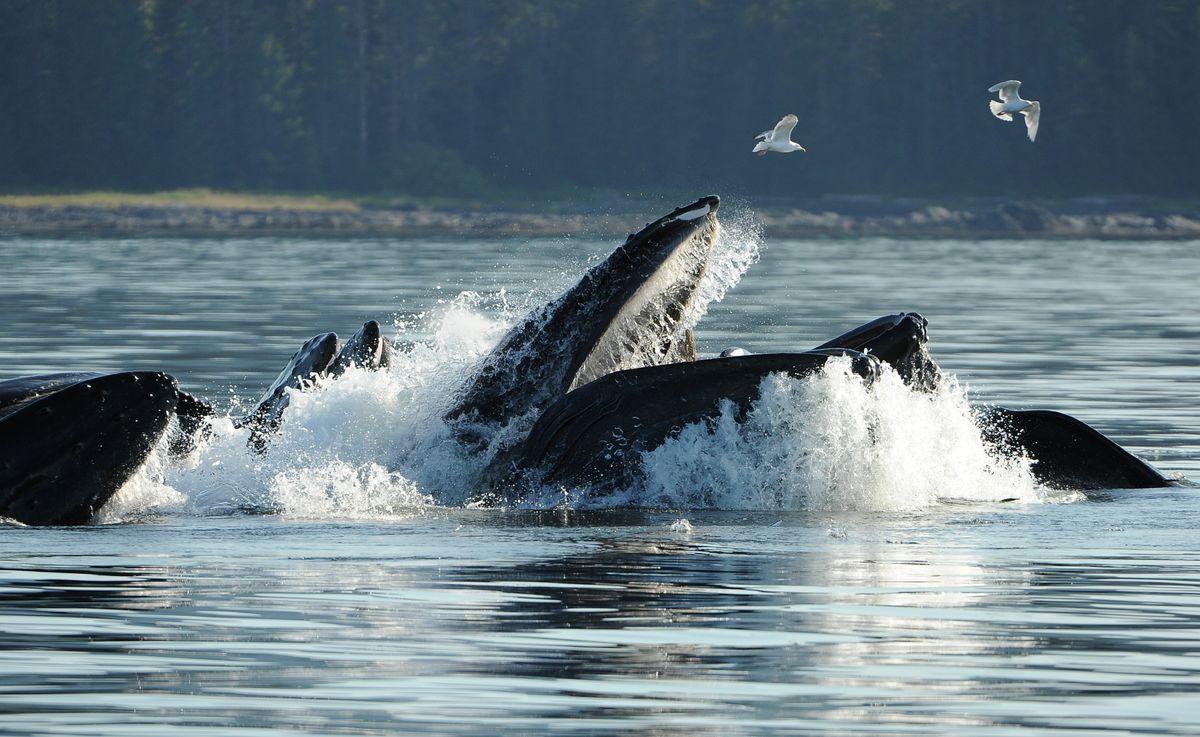 balena cerca di inghiottire kayakers