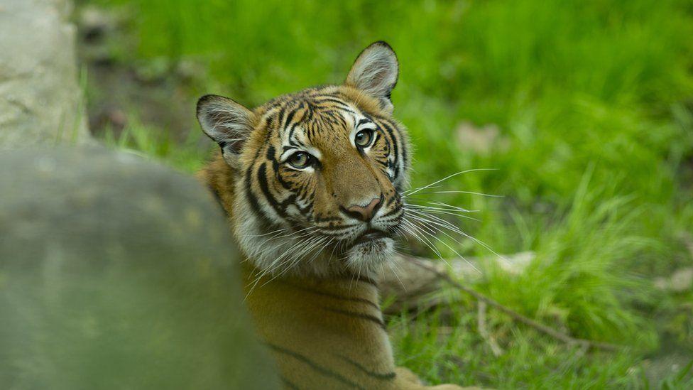 oltre ai gorilla, anche le tigri possono sviluppare la malattia da covid-19