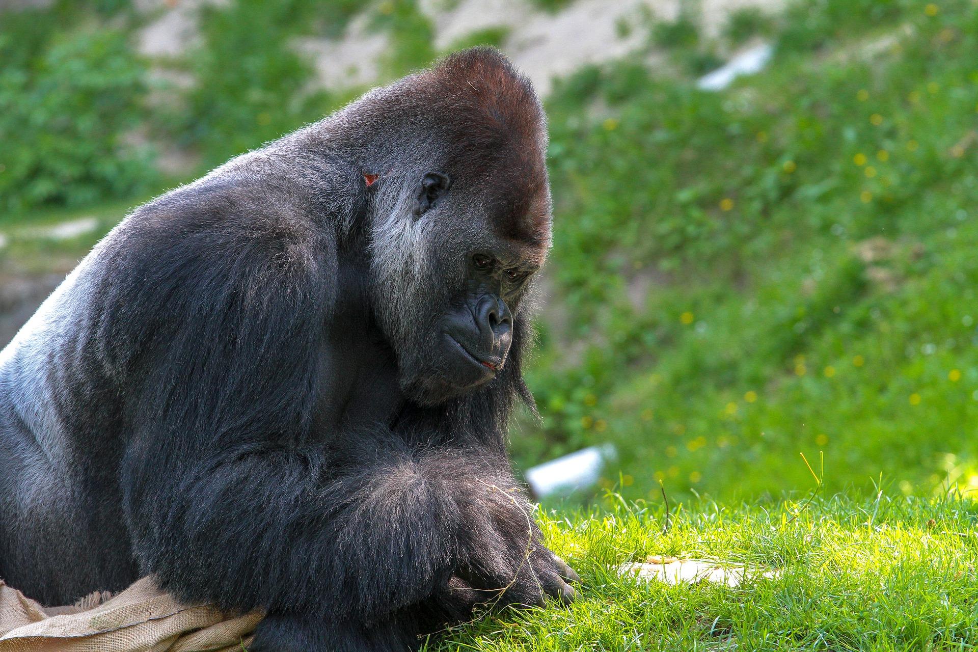gorilla positivi a sars-cov-2