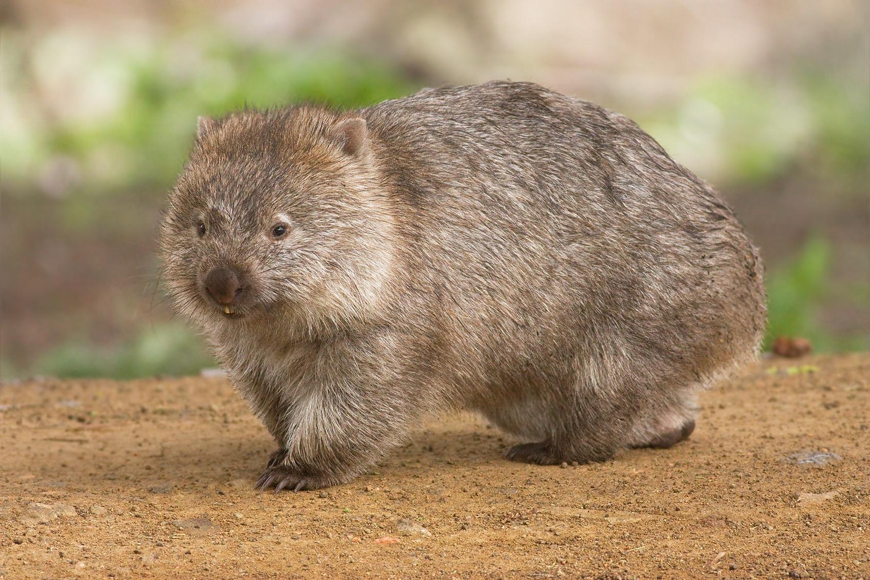 Forse abbiamo capito come fanno i wombat a fare la cacca a cubetti. Credits: JJ Harrison/Wikipedia