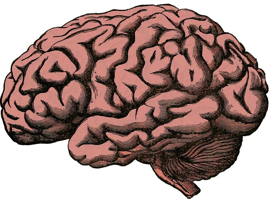 dimensioni cervello umano