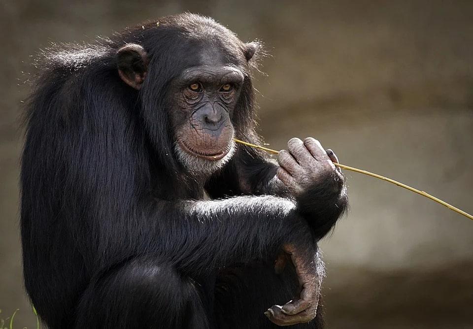 cervello chimpanzee