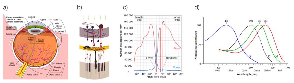 a) Diagramma schematico dell'occhio; b) Strato nervoso e cellule sensitive nella retina; c) distribuzione di coni e bastoncelli sulla superfice retinica; d) Risposta spettrale dei tre coni confrontata con i bastoncelli.