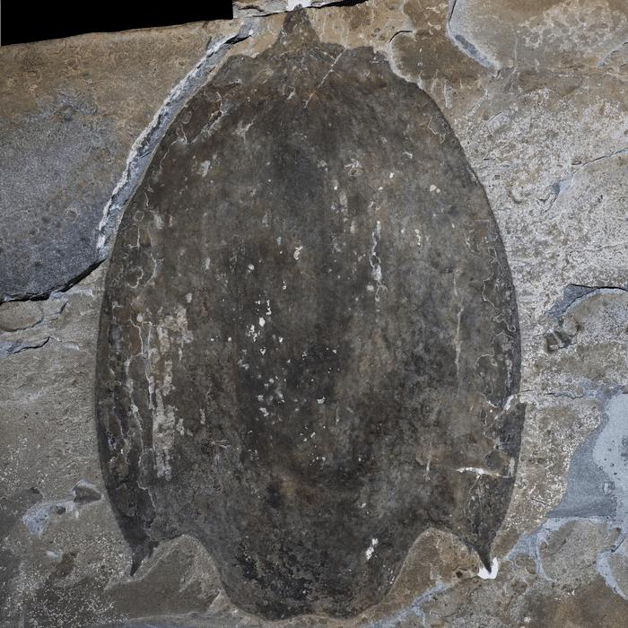 Subito dopo aver trovato l'enorme fossile marino, i ricercatori hanno condotto analisi per capire a quale specie preistorica appartenesse. Con certezza possiamo dire che rientra nei Titanokorys, ovvero antropodi preistorici noti come radiodontos.